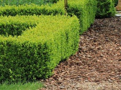 Plant hæk, som kan klippes