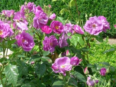 En anderledes rosenbog