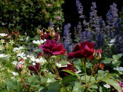 Roser - engelske