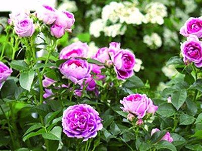 Din nye nemme rosenhave