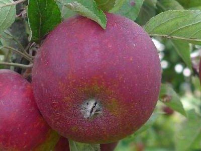 Frugttræer til haven