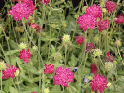 Sommerblomster - Plant og plej